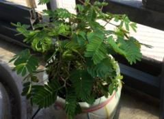 含羞草会开花吗 娇羞又神奇的植物就是它了