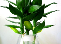 富贵竹怎么养 让家居环境蓬荜生辉
