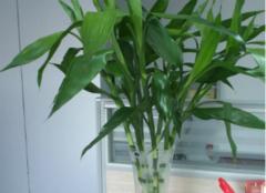水培富贵竹的养护方法 这四点值得收藏
