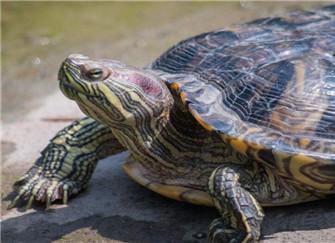 巴西龟怎么养能不死 方法有哪些呢