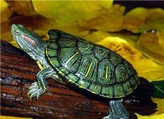 巴西龟冬季怎么养 如何安全过冬呢