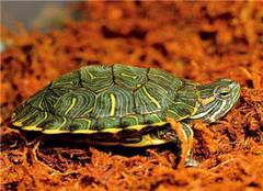 巴西龟吃什么好 要对症下药