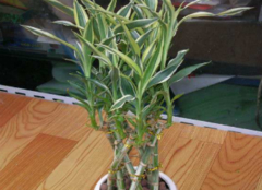 金边富贵竹的养殖方法 这四个要点不能忽略