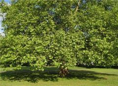 香樟树怎么种植 应该注意哪些