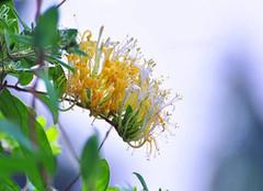 金银花的副作用及使用禁忌