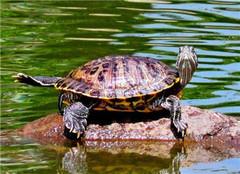 巴西龟怎么饲养 有哪些好的方法呢