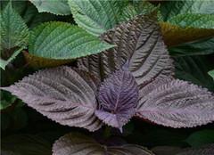  紫苏是什么 其叶的功效与作用有哪些