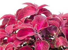 紫苏怎么种植 时间和方法很重要