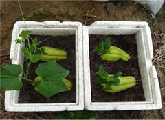 佛手瓜怎么种植 有哪些技术