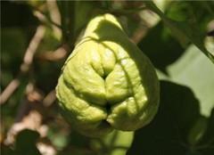 佛手瓜怎么种植 繁殖技术有哪些