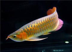观赏鱼金龙鱼怎么养 常见的养殖方法有哪些