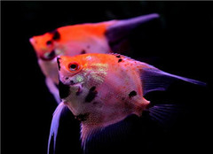 哪些观赏鱼容易养殖 其是怎么样繁殖的呢