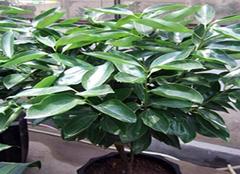 平安树的养殖方法和注意事项有哪些