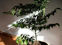幸福树好养吗 幸福树的养殖方法