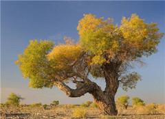 胡杨树是什么 有哪些特点呢