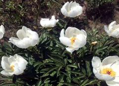 芍药花养殖要注意什么 芍药花怎么养