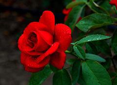 月季花的养殖方法有哪些 如何在家中养殖月季花