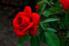 月季花栽培方法 为你带来详细介绍