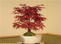制作红枫盆景方法介绍 如何养护好呢