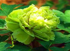 绿色牡丹花是如何养殖的 如此珍贵必当用心