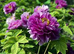 紫色牡丹知识科普 详细介绍帮到你