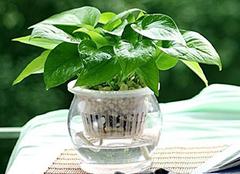 水培绿萝如何养殖 水培绿萝培养条件