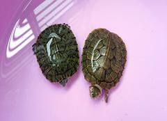 小乌龟怎么养好  必看三要点