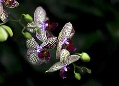 蝴蝶兰的种植方法及注意事项分析