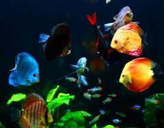 办公室养鱼有哪些讲究 办公室养鱼风水