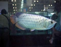 银龙鱼风水有哪些注意点  银龙鱼养几条风水好