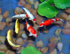 怎么养风水鱼旺财运 风水鱼助财运