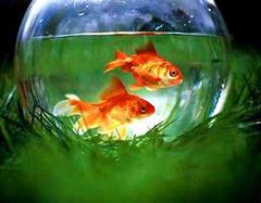 居家风水养鱼要注意什么  居家风水财运