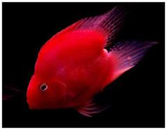 养风水鱼有哪些讲究  风水鱼怎么养