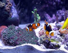 家里养风水鱼要考虑哪些事 养风水鱼有什么讲究