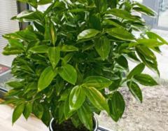 办公室放什么植物风水好 办公室摆放的植物推荐