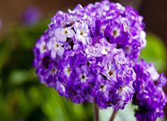 香水草的花语是什么 香水草的功效与作用