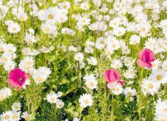 雏菊的花语 关于雏菊的传说故事