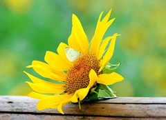 太阳花种子种植方法 太阳花种植要注意什么