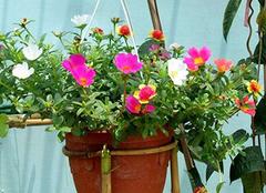 太阳花的寓意和花语 送太阳花代表什么意思