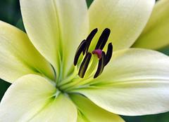 香水百合的花语是什么 普通百合与香水百合的区别