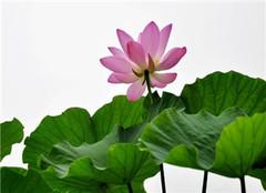 荷花的花语 荷花代表什么象征意义