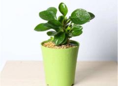 办公室防辐射植物大盘点