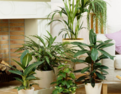 客厅植物摆放风水详解 客厅植物摆放风水禁忌