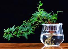 水培植物有哪些 水培植物的养殖诀窍