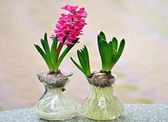 水培植物怎么养 哪种水培植物好养