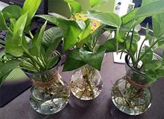 水培植物烂根发臭怎么办 有什么处理方法