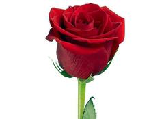 月季花什么时候开放 月季和玫瑰的区别