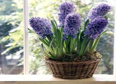 水培植物对办公室风水好吗 办公室风水植物