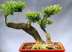榆树的养殖技巧有哪些 技巧都get到了吗?