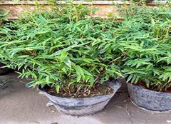 凤尾竹养殖方法和价格 简单为你介绍一下